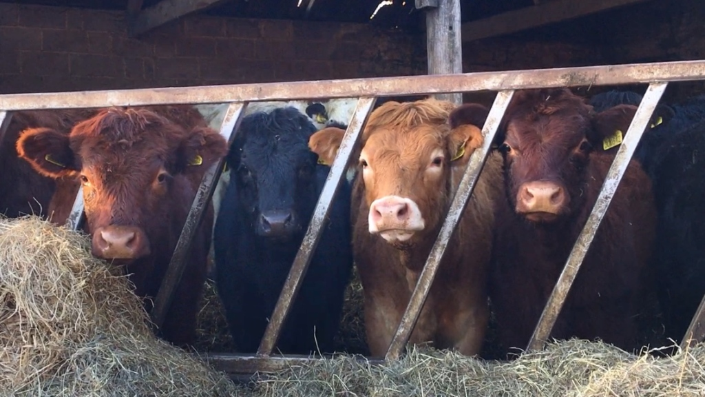 Four, 11 month old, calves stood in a shed, looking at the camera through the diagonal bars of a metal feed barrier. From left to right, a deep red/brown calf, a black calf, a sandy/golden coated calf and another deep red/brown one.