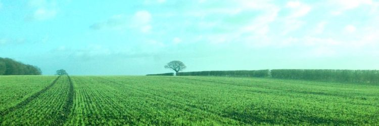 A field covered with the green shoots of a growing crop. A hedge up the side and blue sky overhead.