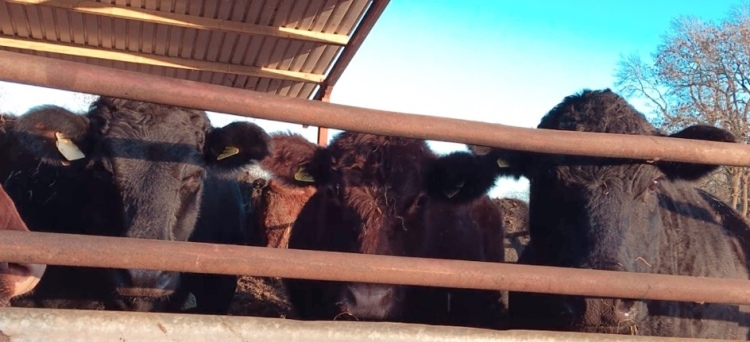 Three cows looking straights at the camera from behind the bars of a gate. Two black cows with a red/brown cow in the middle.