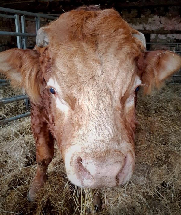 A close-up of the head of a sandy/orange bull, with cut off horns and a pale pink nose. He's looking straight at the camera, standing on straw inside a shed.