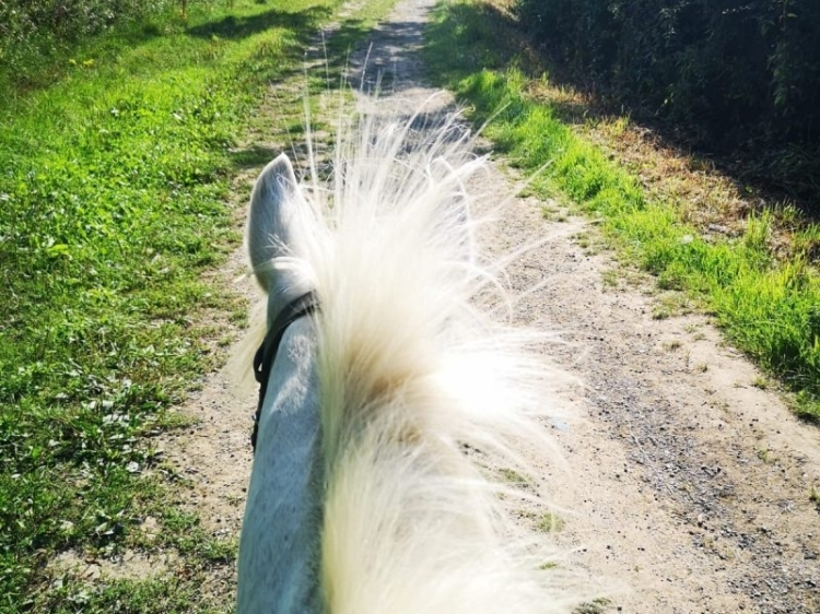 Taken from the rider's view on a horse, a white horse's ears and top of neck. the background is a stoney track with grass verges and hedges on either side.