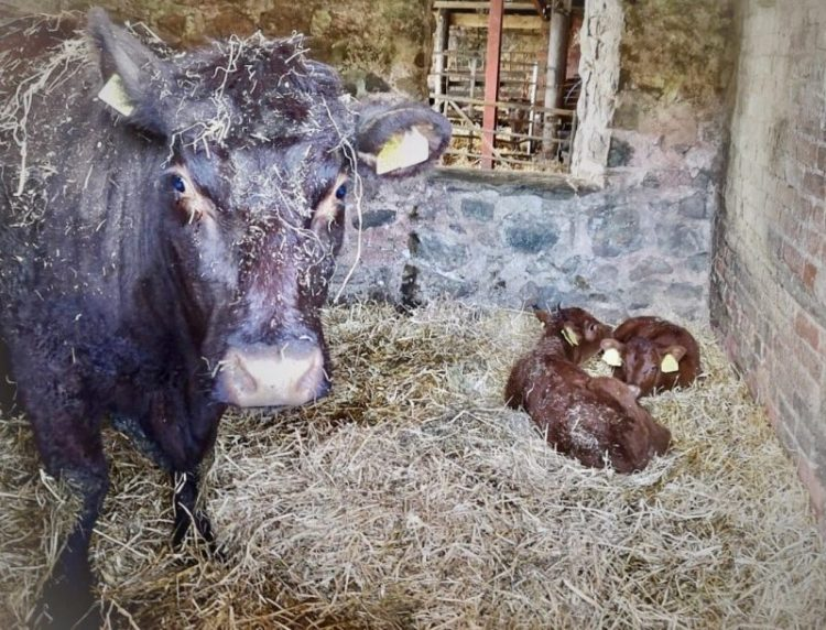 A dark brown cow stood on straw in a stable, with two orangey brown calves laid next to her.