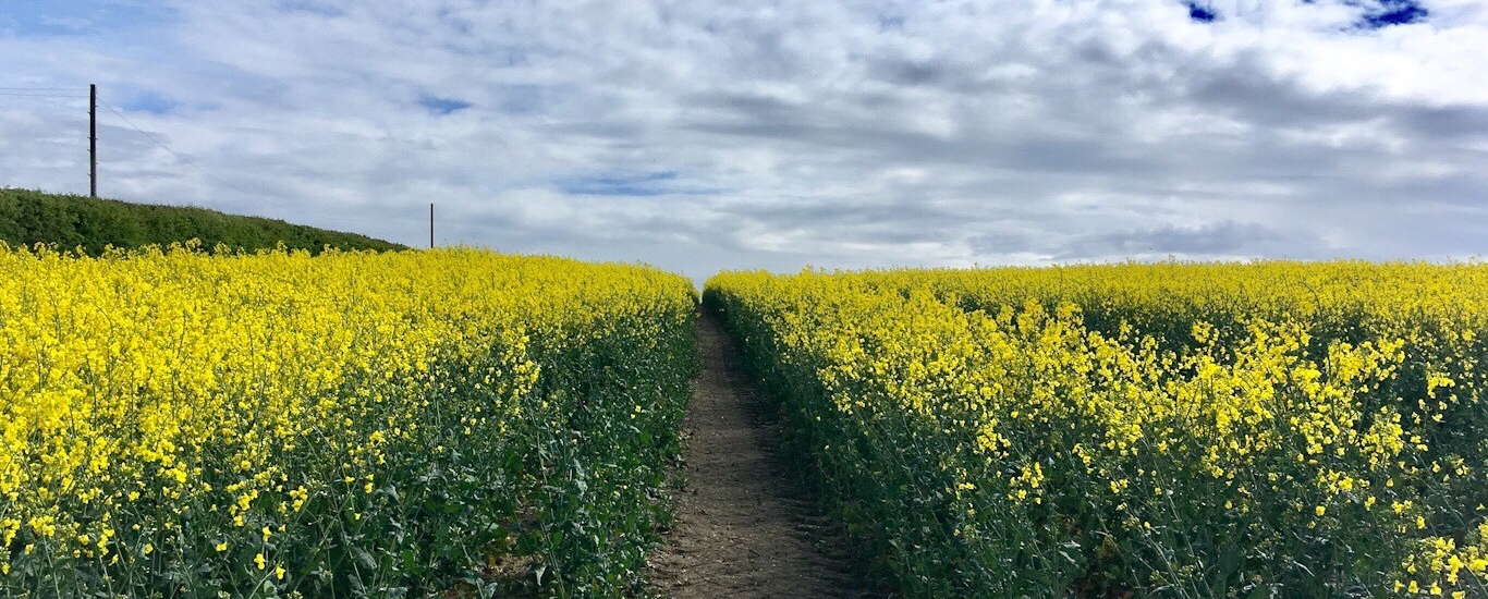 A field of yellow oilseed rape in full flower. There's a tramline up the centre and a hedge up the left hand side. The sky is blue with white clouds.