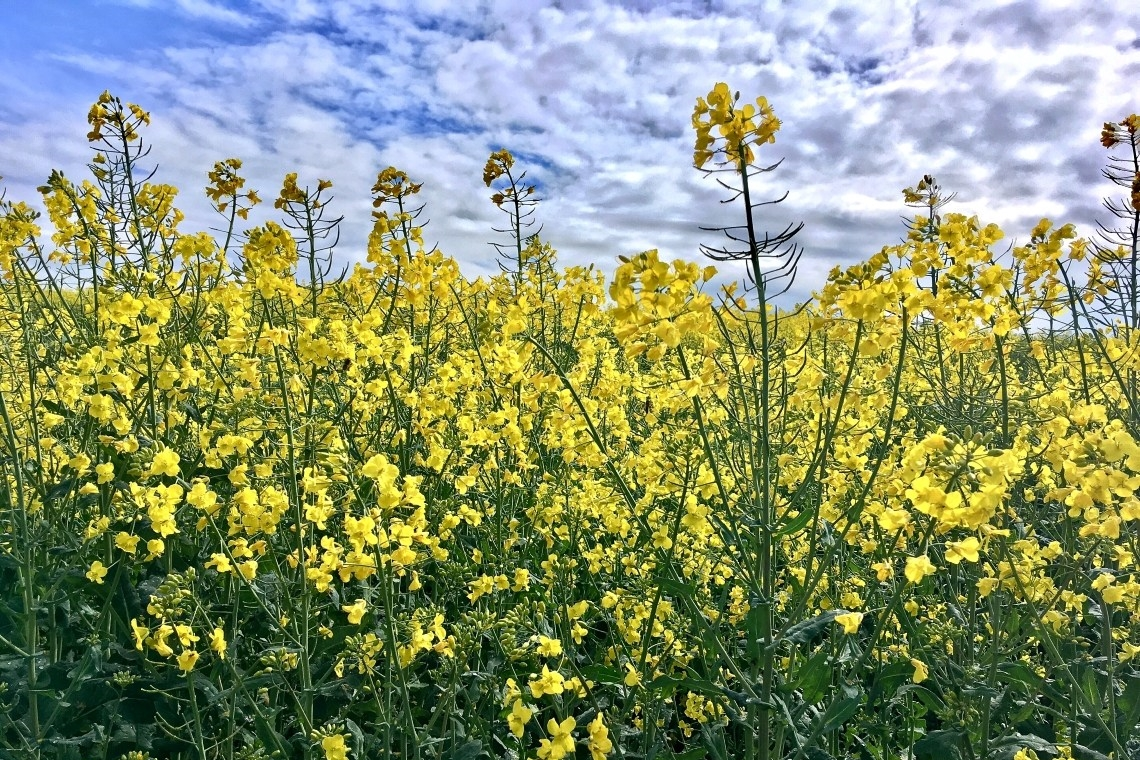 A close up of yellow flowering oilseed rape with blue sky overhead.