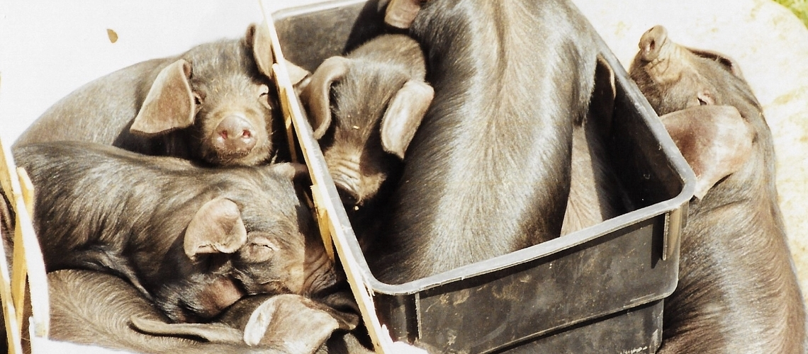 A group of Large Black piglets, in a wheelbarrow, on a farm.