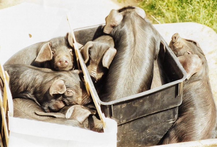 A group of Large Black piglets, in a wheelbarrow, on a farm.