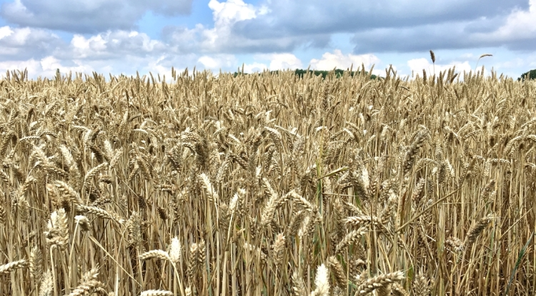 Close up of a field of Winter Wheat, almost ready for combining.