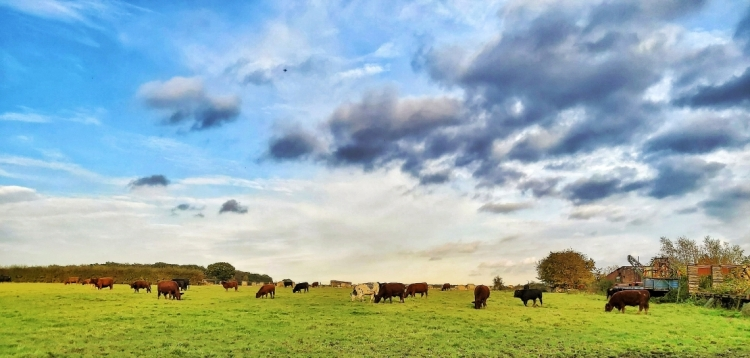 A herd of beef cows grazing in a grass field, in the British countryside.
