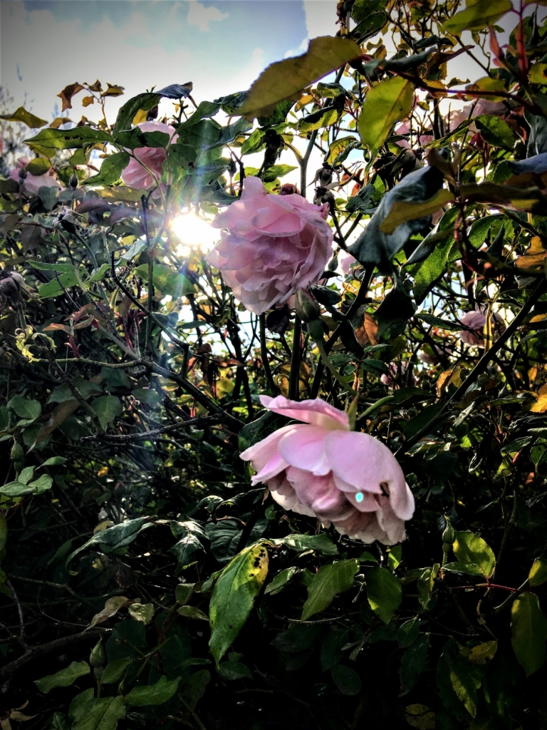 Beam of sunlight peeping through a rose bush with pale pink roses in flower.