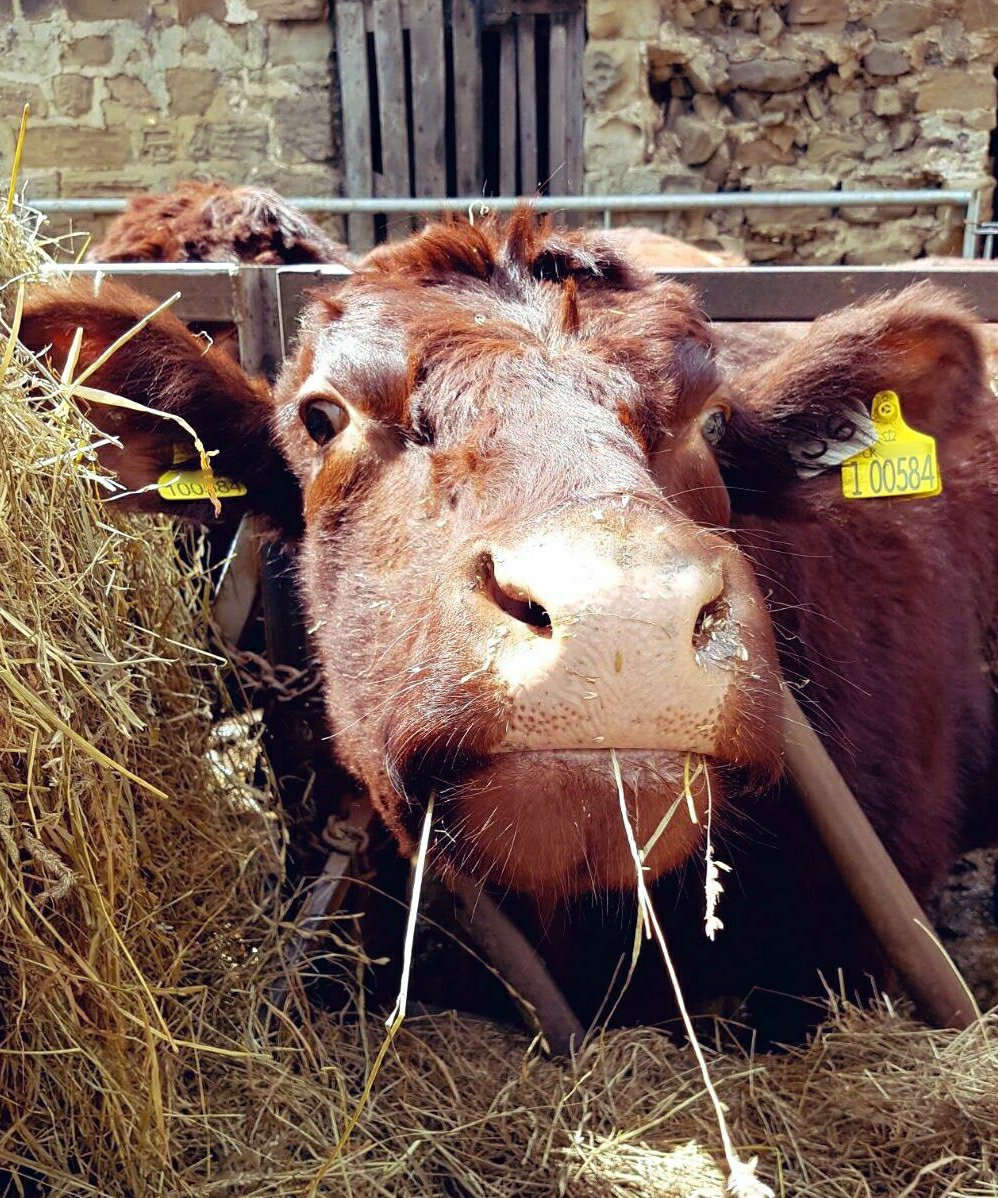 Mahogany coloured lincoln red cow reaching her nose out to the camera with a part mouthful of silage.