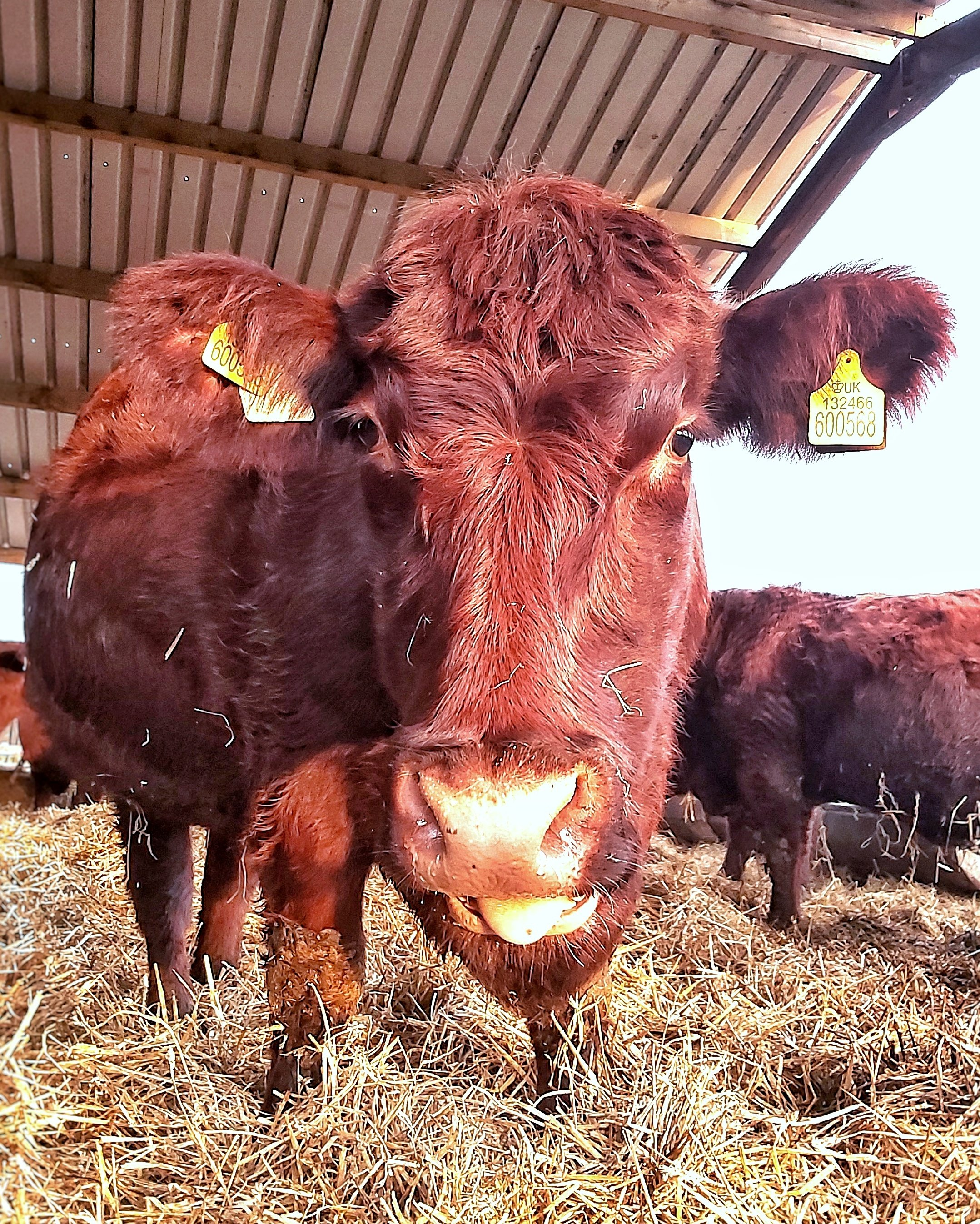 Mahogany coloured, very large, Lincoln red cow, standing in a straw bedded shed with her tongue slightly poking out.