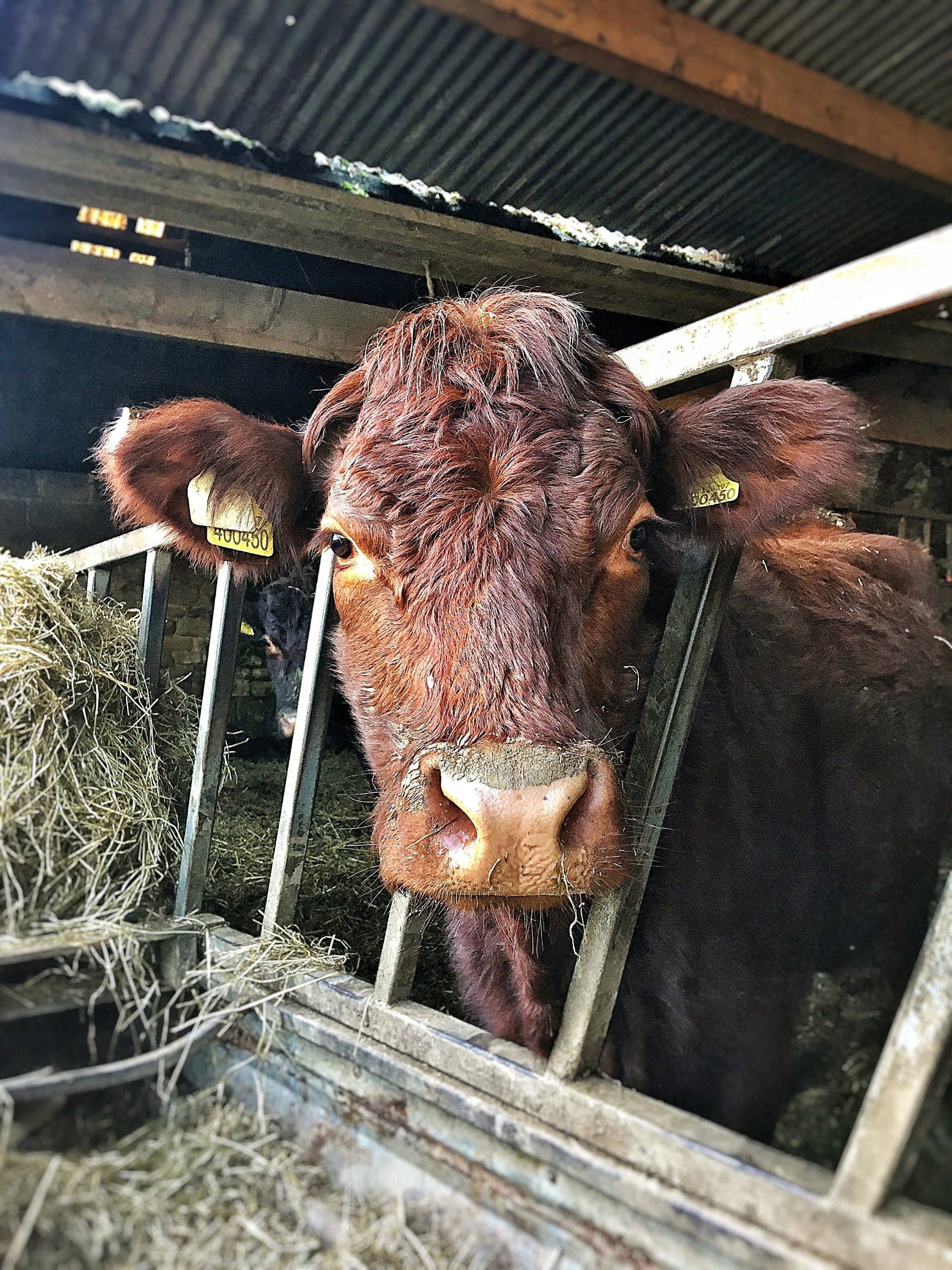 Orange/brown cow looking quizzically through the bars of a feed barrier from inside a shed.