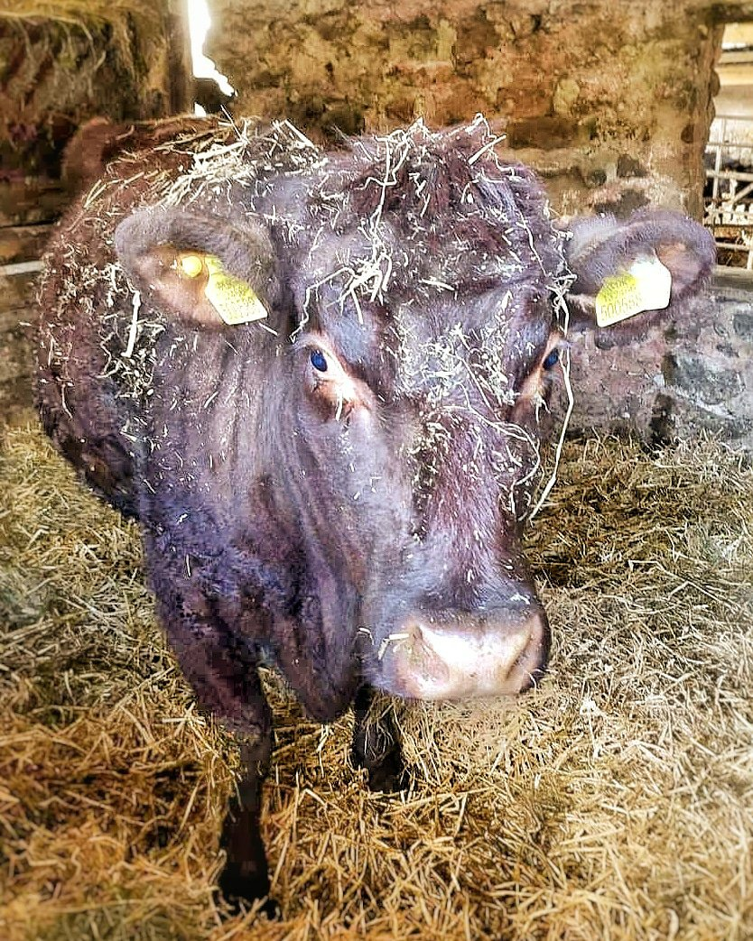 Dark brown lincoln red cow completely covered in bits of hay and straw, standing in a straw bedded stable.