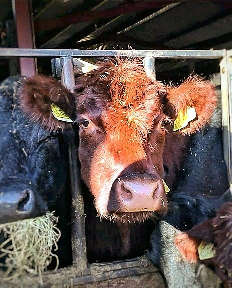 Brown Lincoln red cow's head looking through the bars of a feed barrier with out of focus black cow's head's eating silage alongside her.