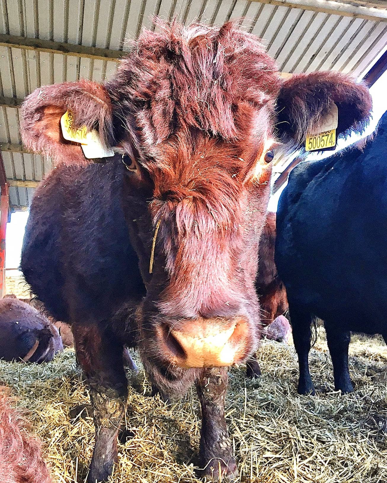 Mahogany Lincoln red cow peering down at the camera from inside a straw bedded shed.