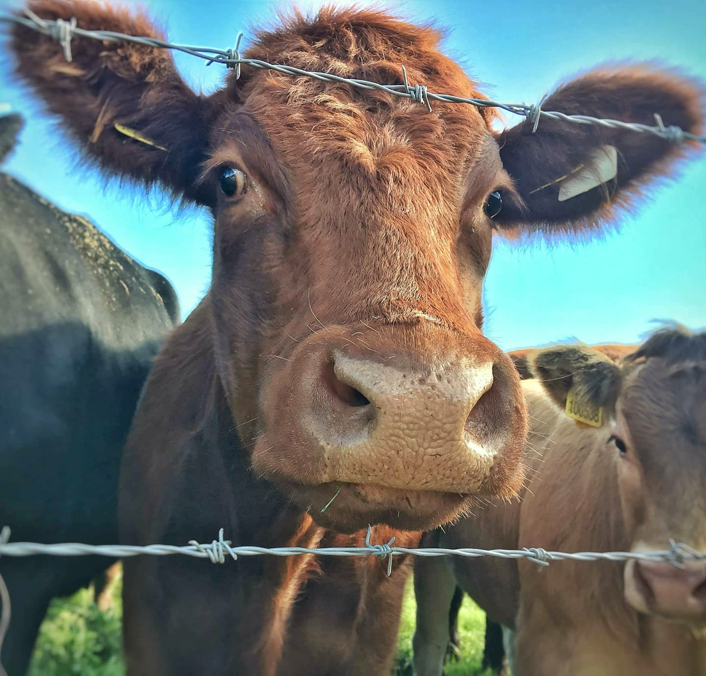 Orange cow's head peering down at the camera through a barbed wire fence from inside a field.