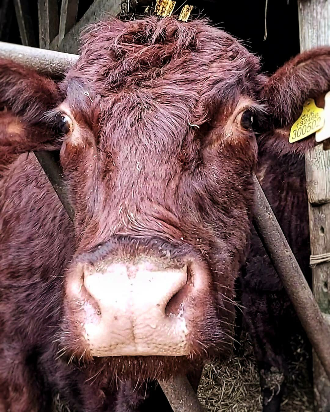 Close up of a brown, Lincoln red cow's head, with large brown eyes and long eyelashes.
