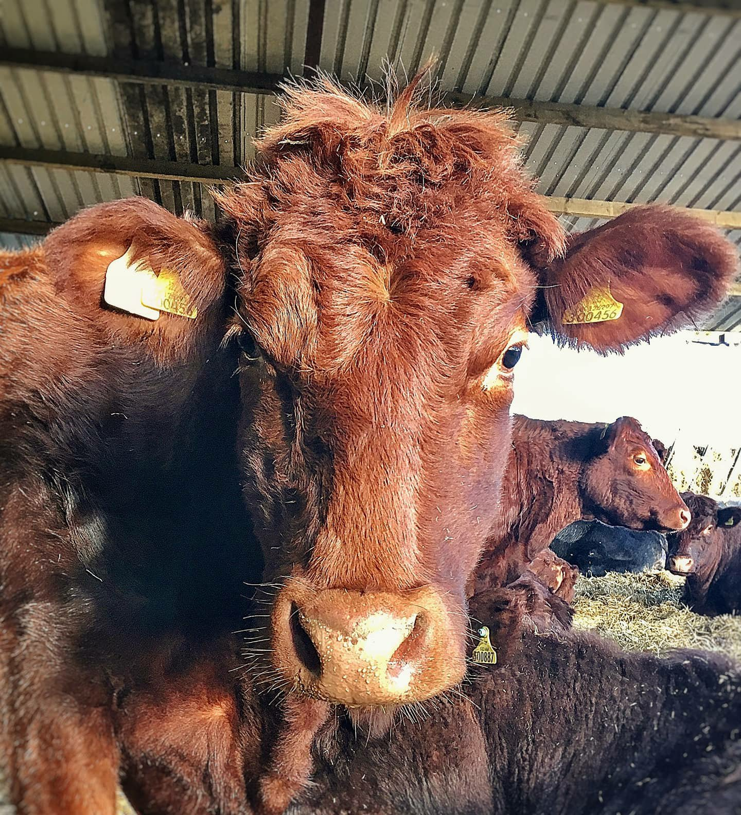 Head shot of an orange cow standing in a cow shed, her fringe is sticking out at all angles.