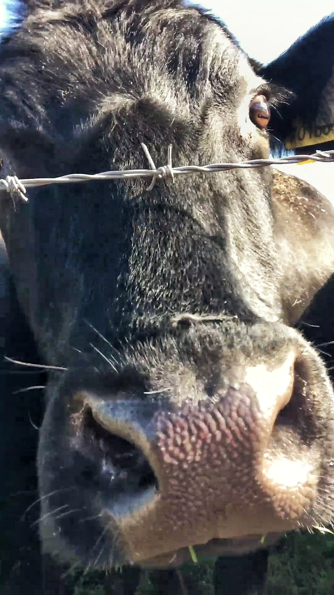 Close up of a black cow's face with her nose almost touching the camera.