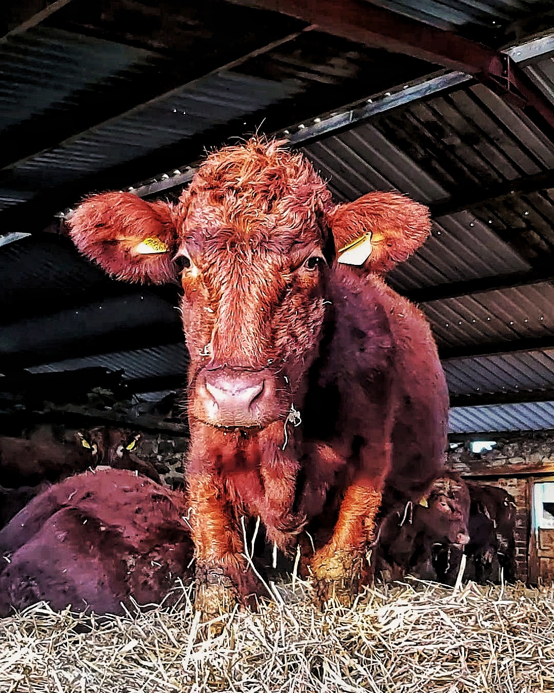 Very scruffy looking orange cow standing in a straw bedded shed.
