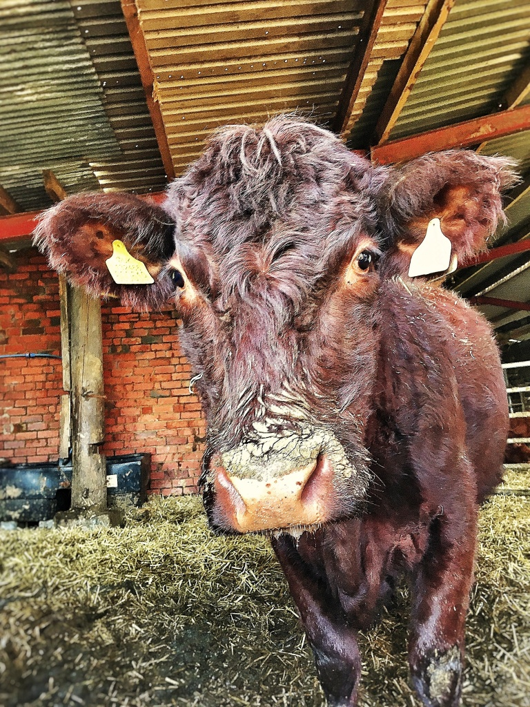 Fluffy looking mahogany coloured Lincoln red cow standing in a shed.