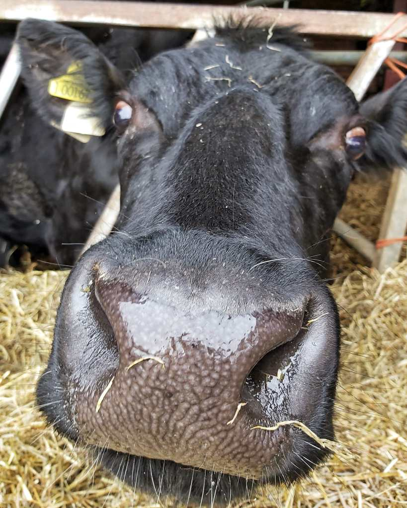 Black cow with her nose stretched out to touch the camera.