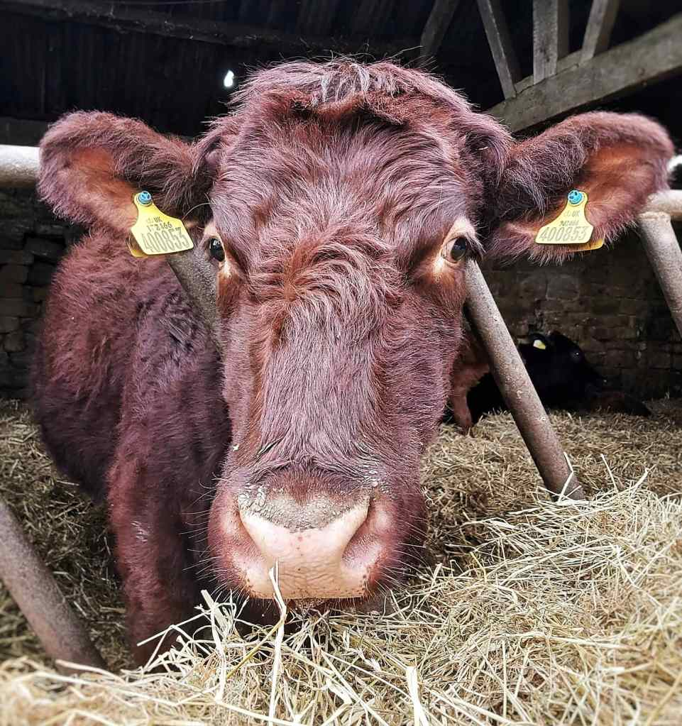 Brown Lincoln Red cow with her head through a feed barrier from inside a shed, she's got a fringe reminiscent of a bowl cut.