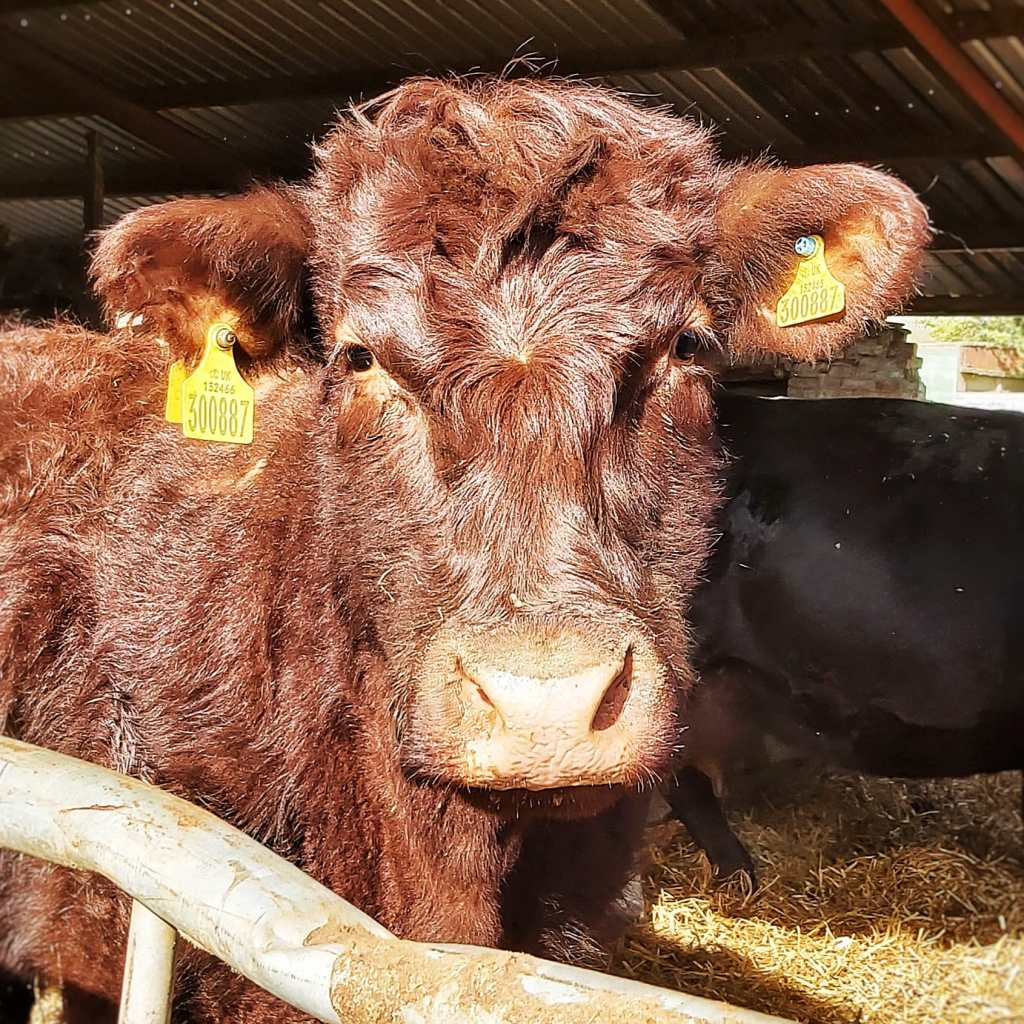 Mahogany coloured Lincoln Red cow, standing in a shed looking very fluffy and a little confused.
