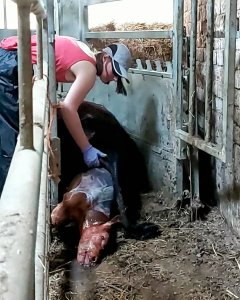 A black heifer laid in a cattle crush, with a brown calf half out of her and a girl, Holly, leaning over the side of the crush with her hand in the heifer to help get the calf out.