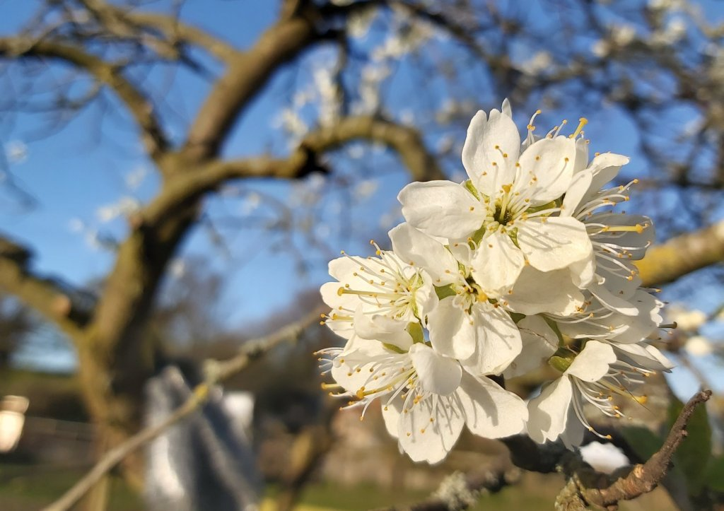 A clump of white Plum Blossom flowers on a branch of a plum tree.
