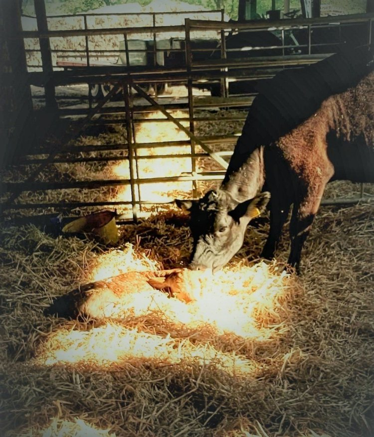 Black cow standing in a straw bedded shed, sniffing a golden calf curled up in the straw.