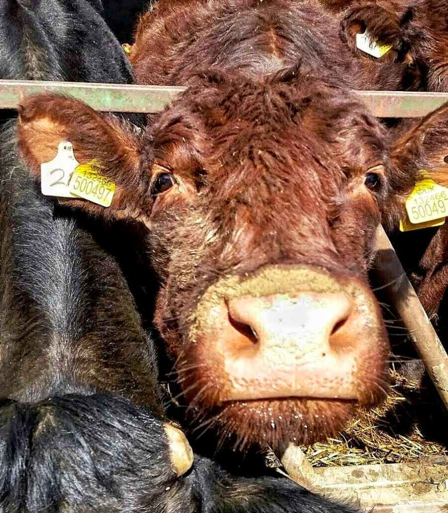 A red/brown Lincoln Red cow reaching her nose out to the camera with her head through the bars of a feed barrier.