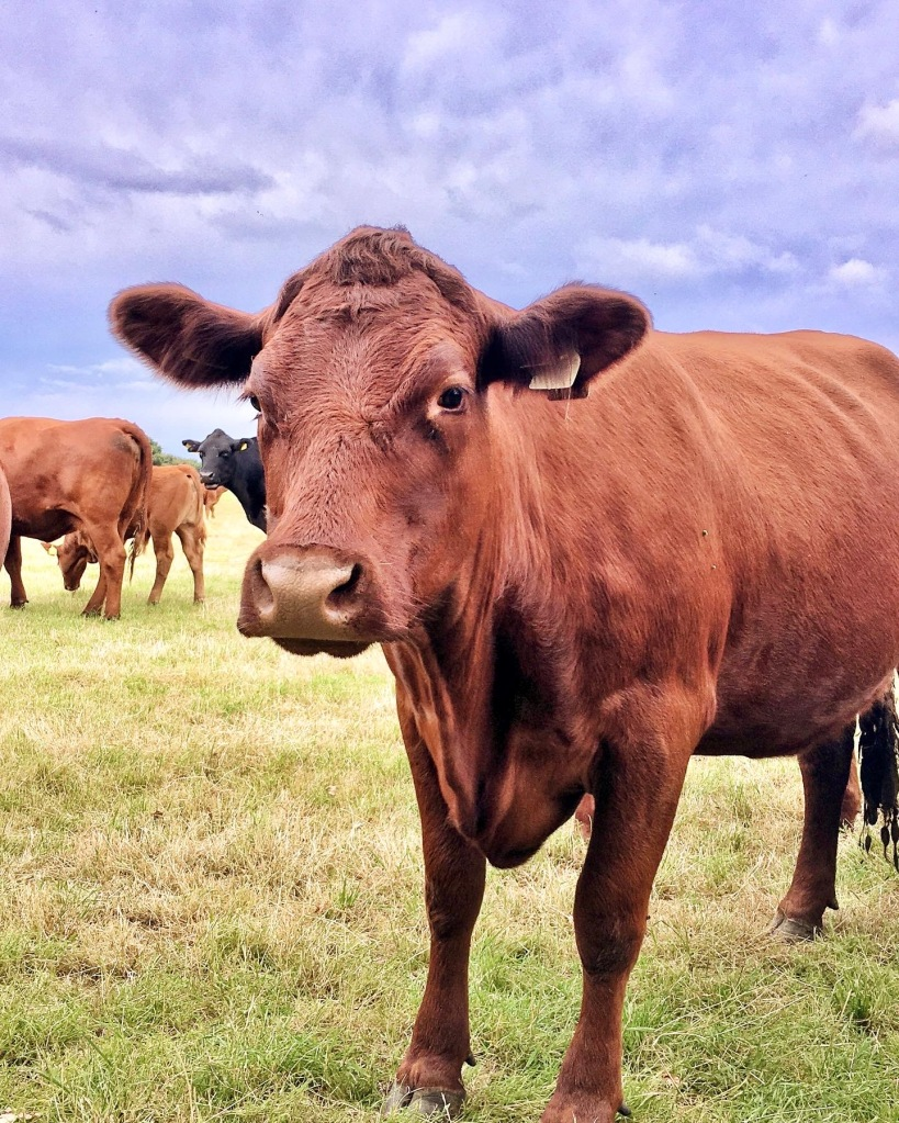 An orangey brown, Limousin cross Lincoln red cow standing in a grass field.