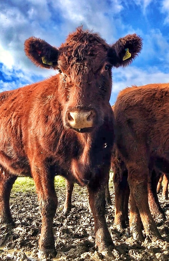 A very hairy red/brown Lincoln Red cow standing in a muddy field facing and looking down at the camera below blue sky.