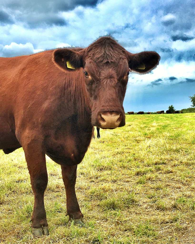 A deep brown, Lincoln Red cow standing in a grass field, only the front half of the cow is visible.