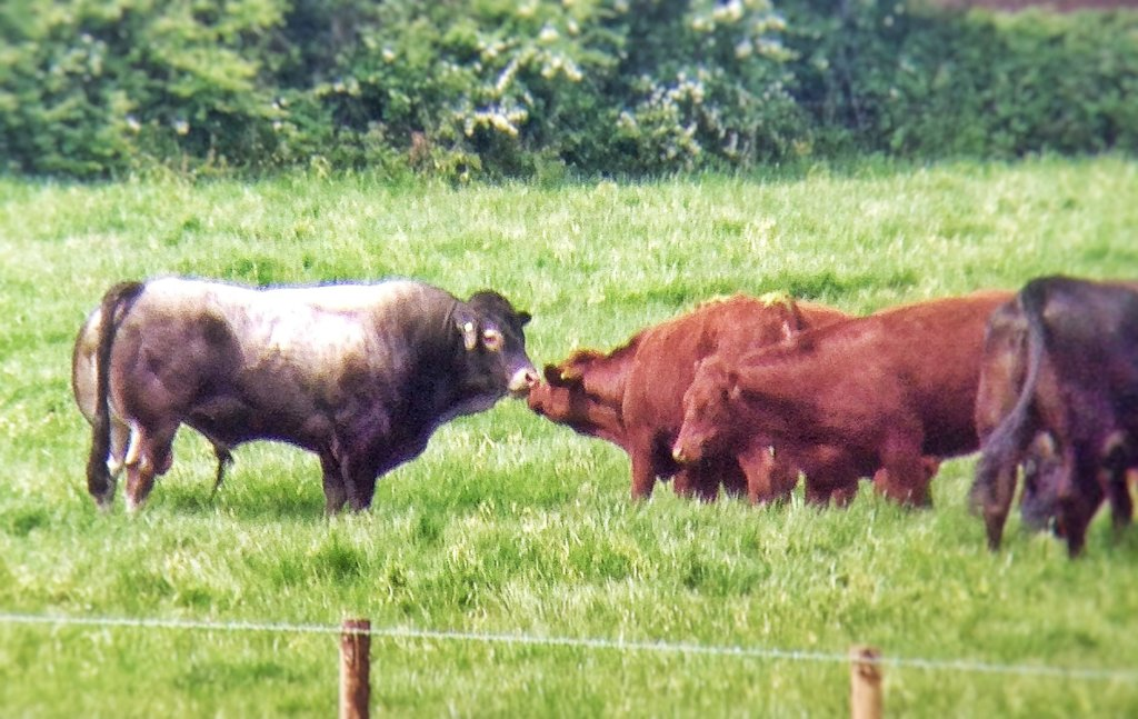 A grey Bazadaise bull standing in a grass field, nose to nose with two deep red Lincoln red heifers.