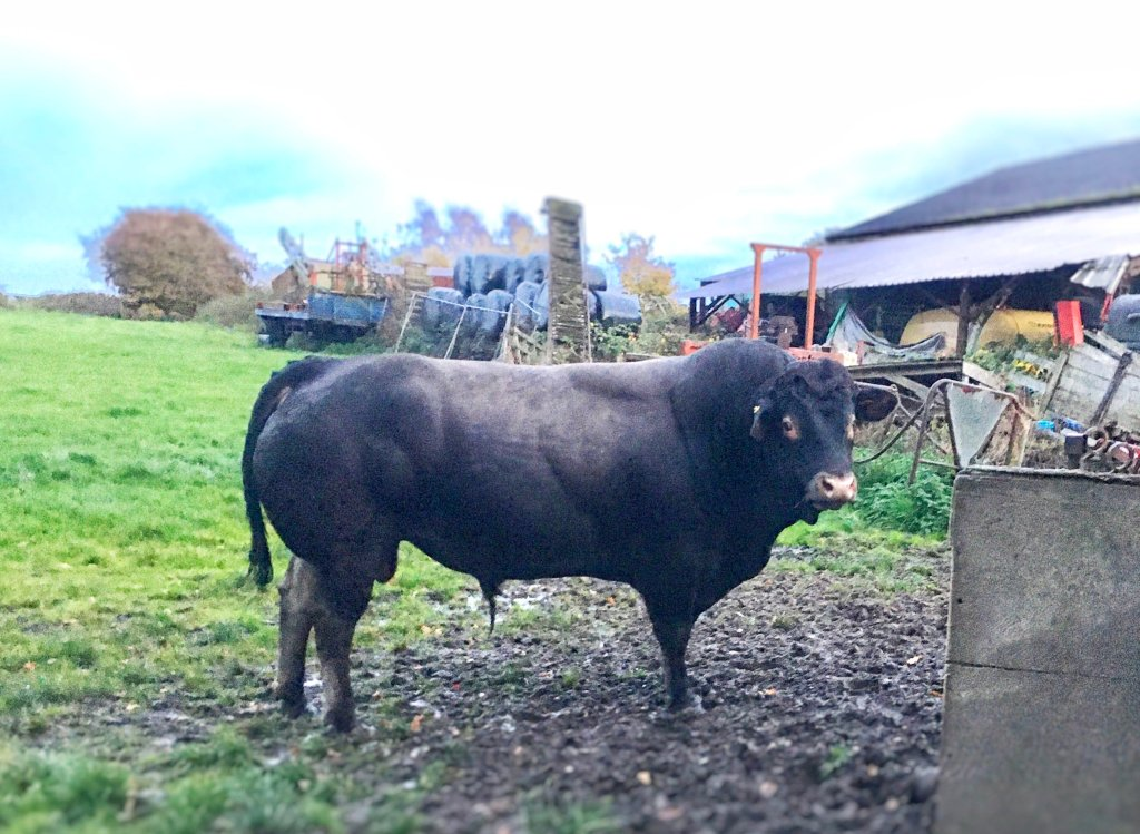 A bazadaise bull standing in a muddy grass field, he's dark grey with a lighter grey back.