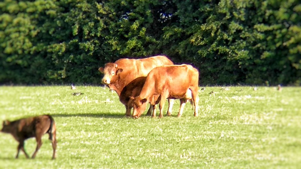 Orange Limousin bull and cow standing side by side in a grass field.