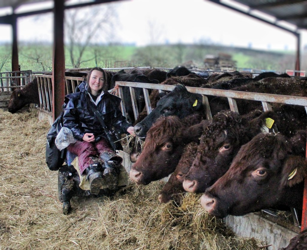 Holly, a white woman sitting in a powered wheelchair, sat next to the feed barrier of a cattle shed with brown lincoln red cows heads eating through it.