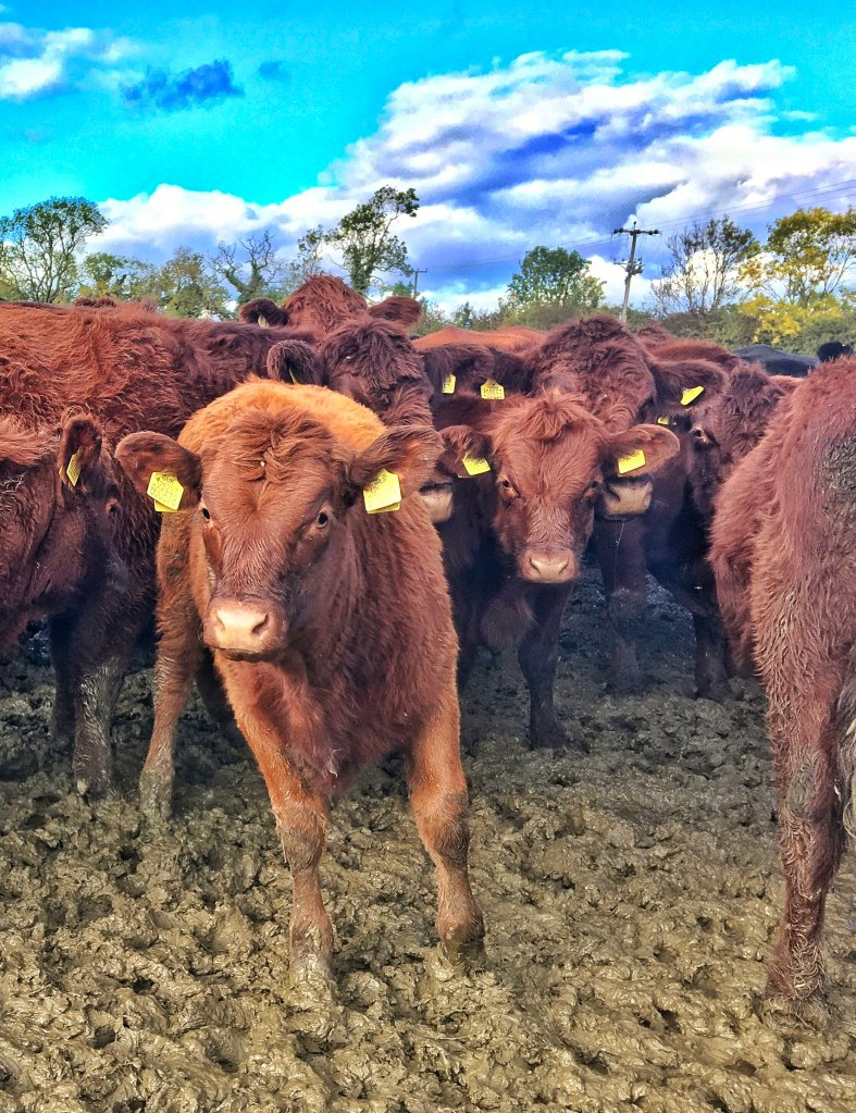 Brown, lincoln red cows and their 8 month old limousin cross calves standing in a muddy field below blue sky.