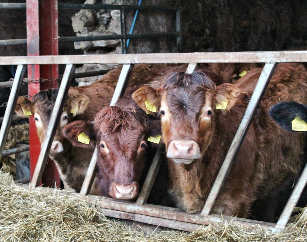 Three weaned calves, two golden coloured with a brown one between them, looking through the bars of a feed barrier from inside a shed.