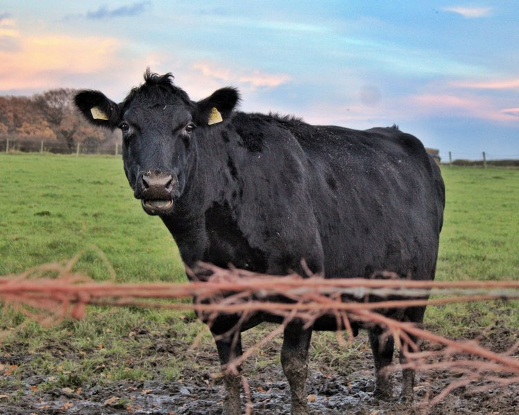 A black cow standing with her mouth half open in a grass field that's a bit muddy