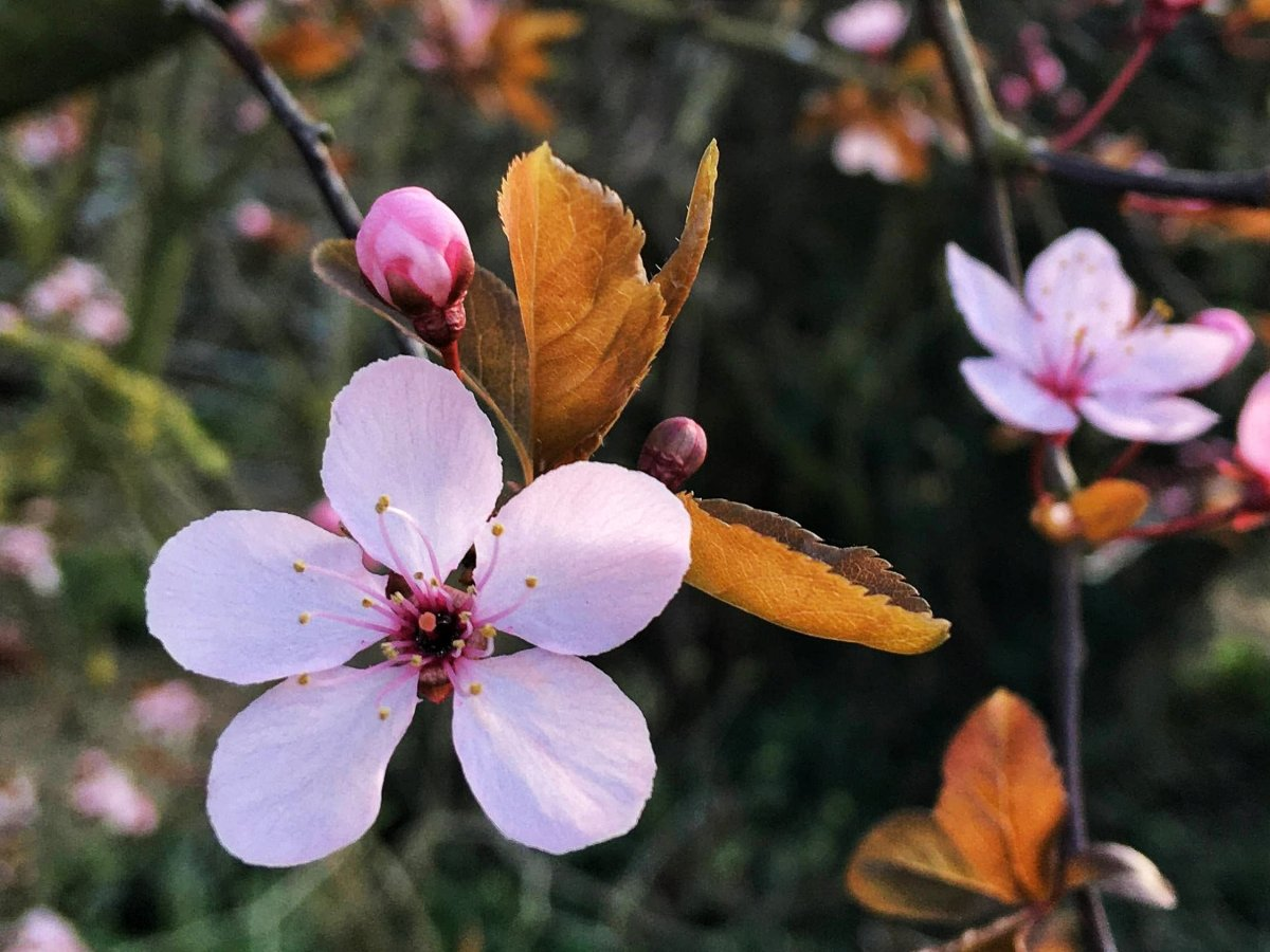 Pink cherry blossom with 5 petals and bronze leaves.
