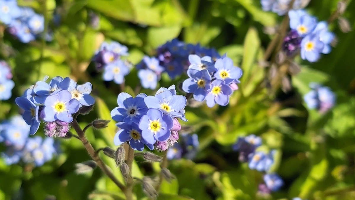 Close up of blue forget-me-nots.